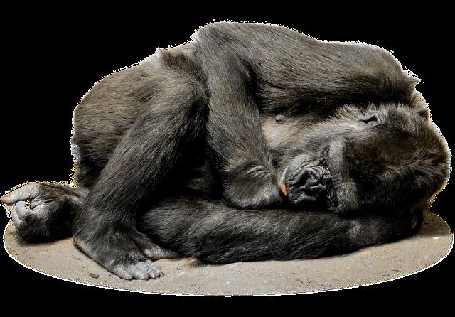 gorilla-1072466_640