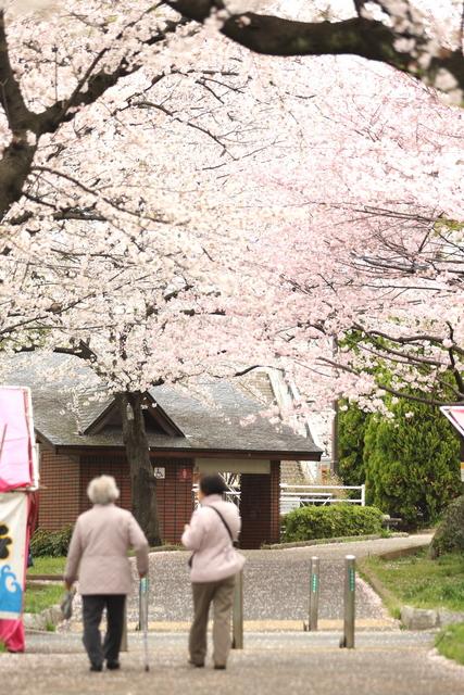 桜並木と老人